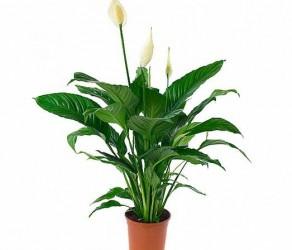 Растение 36